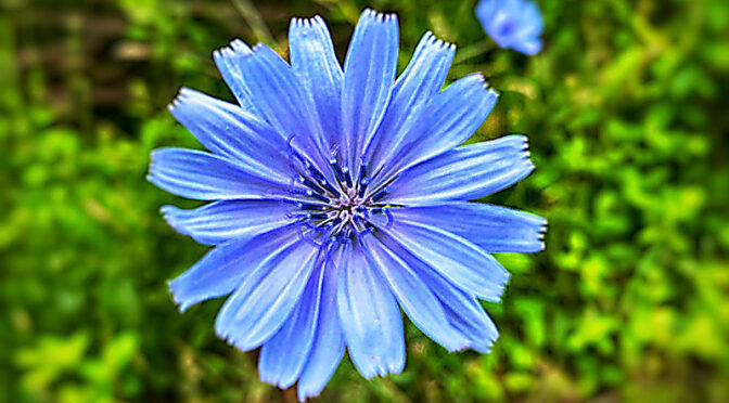 The Blue Chicory Wildflower Is Blooming Everywhere On Cape Cod!