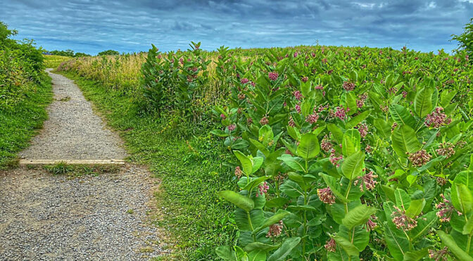 Lots of Milkweed Plants At Fort Hill On Cape Cod.
