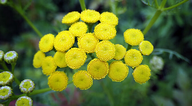 Beautiful Yellow Tansy Wildflowers At Fort Hill On Cape Cod.