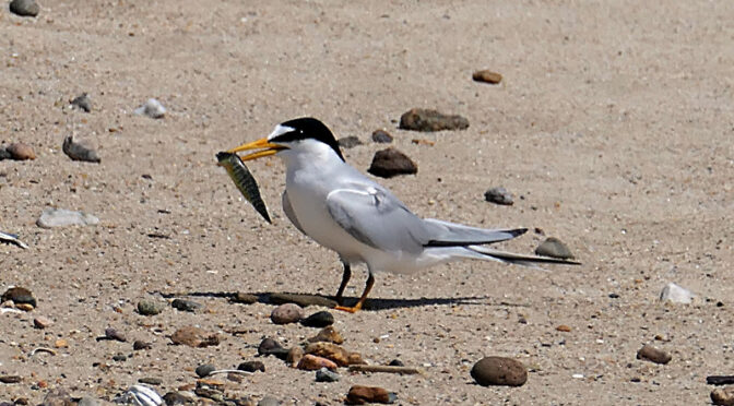 Least Tern On Coast Guard Beach On Cape Cod.