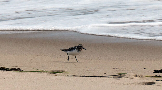 Western Sandpipers On Coast Guard Beach On Cape Cod.