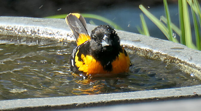 Bath Time For This Baltimore Oriole On Cape Cod!