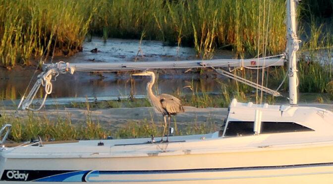 Great Blue Heron Looking For Breakfast On Cape Cod!