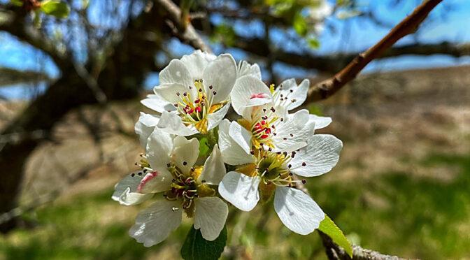 Beautiful Flowering Trees On Cape Cod.
