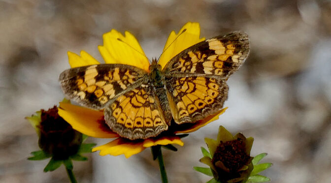 Pearl Crescent Butterfly On Cape Cod.