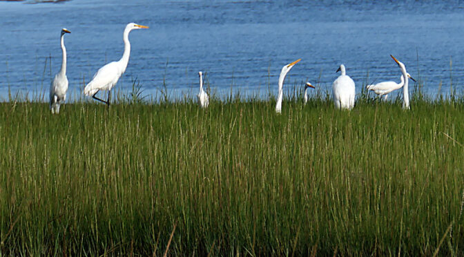 Egret Convention On The Salt Marsh On Cape Cod.