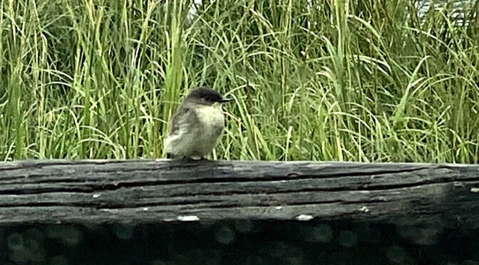 First Eastern Phoebe For Us On Cape Cod.