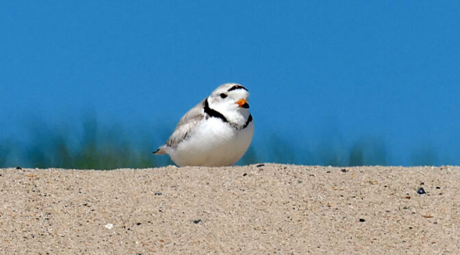Cute Little Piping Plover At Coast Guard Beach On Cape Cod.