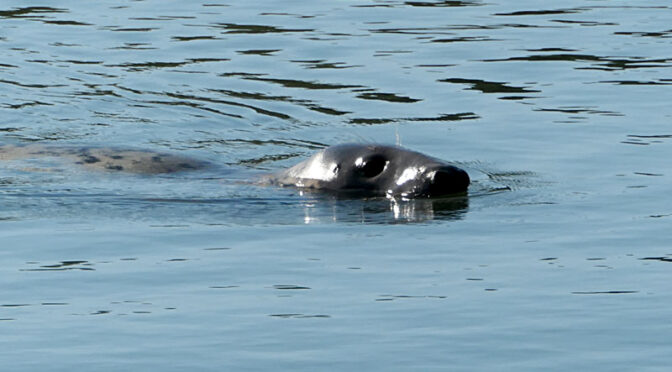Two Seals In Arey's Pond In Orleans On Cape Cod.