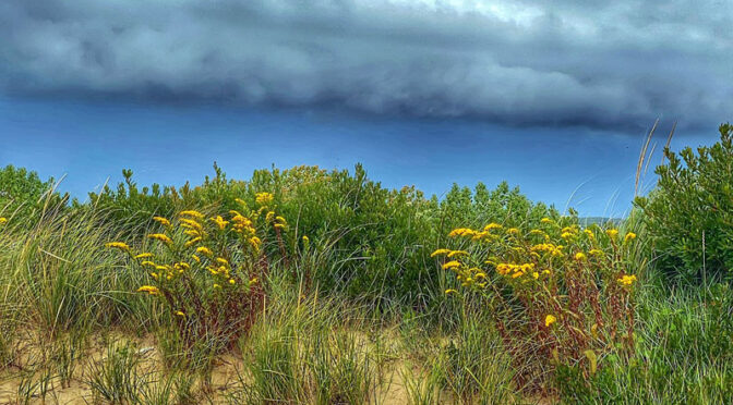 Goldenrod Wildflowers By The Beach On Cape Cod.