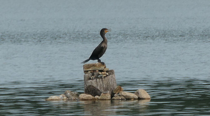 Love This Cormorant On Cliff Pond On Cape Cod.