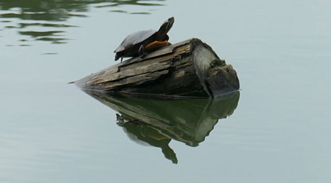 Love This Turtle Reflection On Cape Cod.